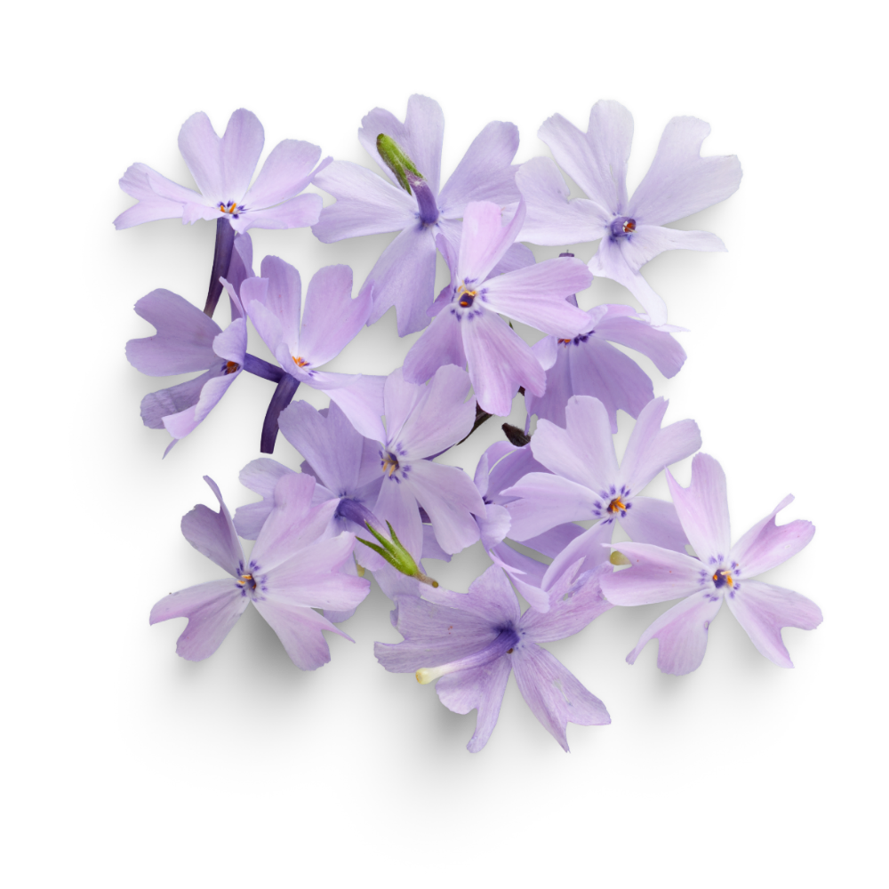 Fleurs mauves avis